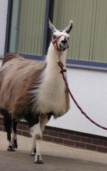 Llamas visit Langdon