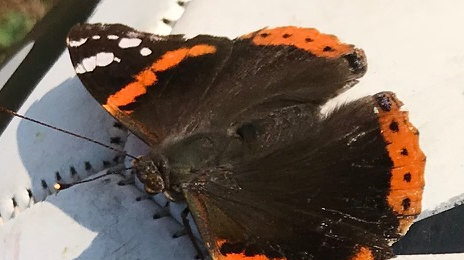Butterfly Conservation as Metaphor for Recovery
